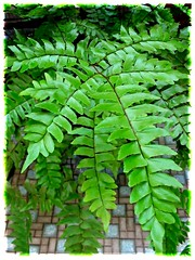 Close-up of potted Adiantum trapeziforme (Diamond/Giant Maidenhair), growing in our courtyard