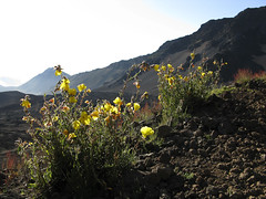 Oenothera stricta (Chilean Evening Primrose) (Neil Hunt) Tags: hawaii maui haleakala slidingsandstrail oenotherastricta chileaneveningprimrose