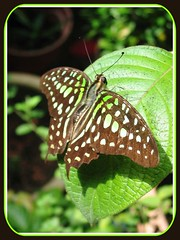 Graphium agamemnon (Tailed Jay, Green Spotted Triangle) with wings fully spread