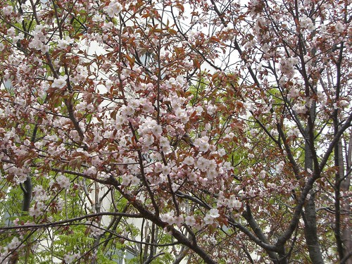 苫小牧の桜/Cherry blossoms in Tomakomai