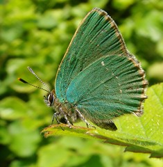 Callophrys rubi - green hairstreak (camerar) Tags: green butterfly butterflies insects british hairstreak greenhairstreak callophrysrubi
