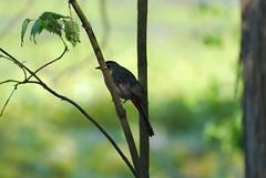 Catbird (johnk6) Tags: usa newjersey montague catbird