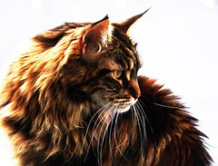 the Cat (Vinje) Tags: cats cat loveit mainecoon picturesque katt naturesfinest blueribbonwinner vinje bej fineartphotos mywinners kissablekat bestofcats impressedbeauty ultimateshot goldstaraward damniwishidtakenthat