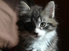 Vanity / Vanit (B@rbar@ (Barbara Palmisano)) Tags: pet brown eye animal cat kitten tabby kitty gato siberian gatto animale siberiano kissablekat diamondclassphotographer flickrdiamond artedellafoto