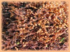Root hairs of Bird's Nest Fern (Asplenium nidus)