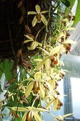 Coelogyne massangeana (dwittkower) Tags: orchid flower flora orchids orchidaceae species orquideas orchidée coelogyne orqudea