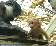 Learning the ropes.... (law_keven) Tags: england zoo monkeys essex soe colchester colchesterzoo primates zoology blueribbonwinner bej golddragon anawesomeshot diamondclassphotographer ysplix theperfectphotographer lhostmonkey