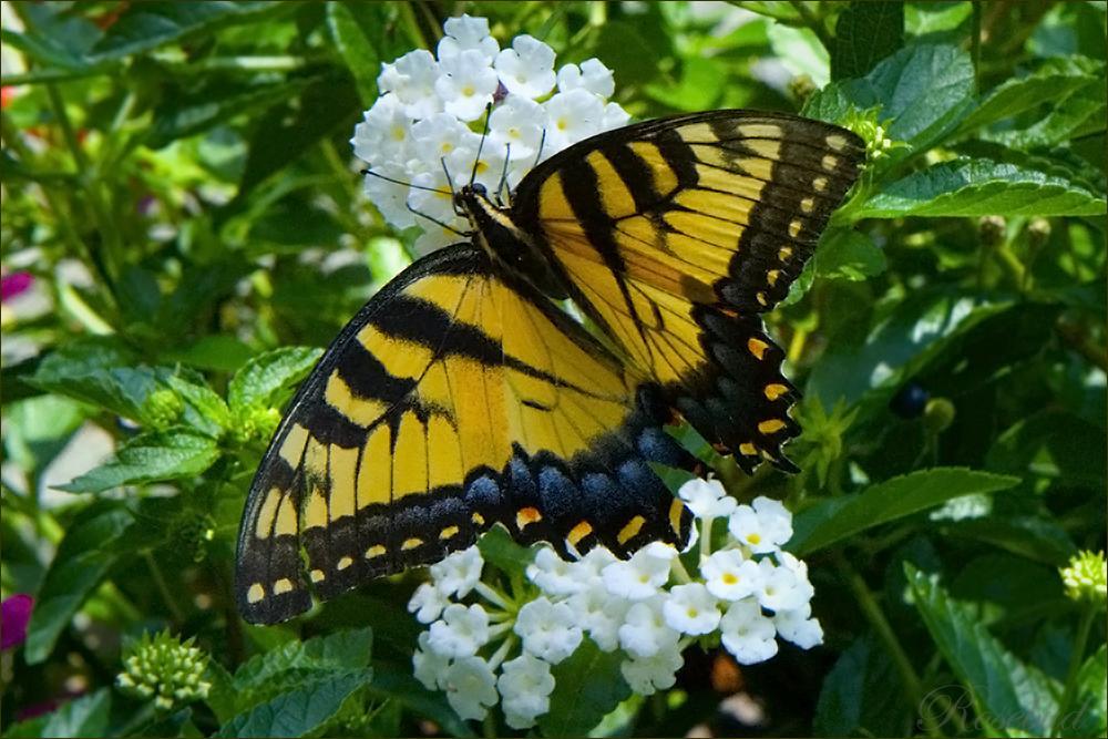 5378 (butterfly) ©2008 RosebudPenfold