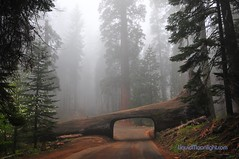 The Fallen Sequoia Redwood becomes a Tunnel, Sequoia National Park California (Darvin Atkeson) Tags: california park trees wallpaper usa color tree beautiful fog america forest landscape us nationalpark high parks tourist national massive stunning resolution mystical redwoods dogwood nationalparks sequoia attraction worldslargest darvin dogwoodtree tunneltree tourisim atkeson californiaphotography  worldslargesttree darv californiaphotographer californiaparks   liquidmoonlightcom liquidmoonlight