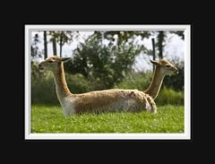 Two headed Vicuñas ...? (Arie van Tilborg) Tags: alpaca smile zoo blijdorp camel lama ng guanaco photosmiles throughmyeyes rotterdamzoo impressedbeauty tilborg throughyoureyes arievantilborg estremita vosplusbellesphotos