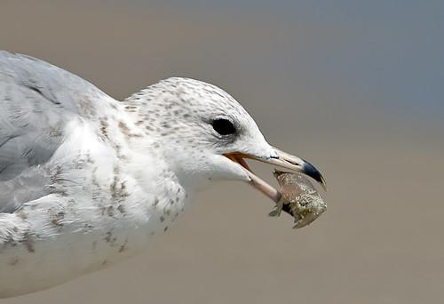 Gull with sand flea