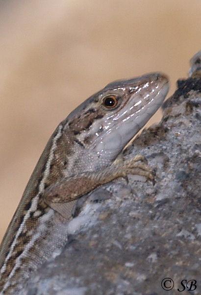 Lacertidae: Podarcis muralis (Mauereidechse)