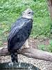 Aguila Harpia - By Panamashot.com (gwiver) Tags: bird animal fauna flora perfil ave pico ala pluma panama silvestre nacional hernandez aguila hernan garra harpia hernanh panamashot hernanhhernandez