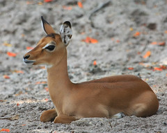 Welcome to the World - Baby Impala (Rick Shackletons Photographic Adventures) Tags: zoo rick impala shackleton naplesfl aza southwestflorida napleszoo swflorida floridazoos colliercountyflorida rickshackleton
