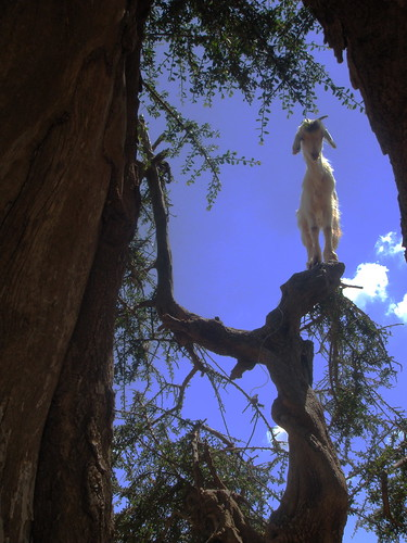 Moroccan tree-climbing goat - by Catilin (via Creative Commons)