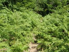 Garden of ferns, lower Shriner peak trail.