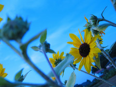 blue sky sunflower