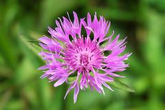 Purple beauty (Aliff Saifuddin) Tags: flower closeup nikon purple moscow d70s 1870mm