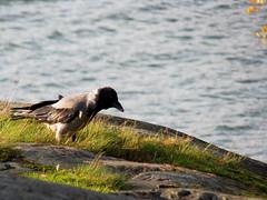 IMG_1432 (mezzo73) Tags: water birds vesi linnut