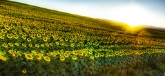 A Sea of Sunflowers (Stuck in Customs) Tags: flowers sunset sea wallpaper sky panorama favorite sun green nature colors beautiful lines yellow work garden painting landscape fun photography golden amazing cool nikon highway montana bozeman exposure pretty shoot butte photographer shot angle bright image photos shots details d2x perspective picture atmosphere sunny master edge sunflowers stunning fields pro dreamy openspace portfolio lovely capture emotions magical hdr thebest masterpiece captures goldy mostviewed highquality rayes stuckincustoms treyratcliff