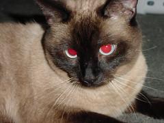kit cat (joey.failing) Tags: cat redeyes catnipaddicts