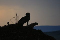 Cheetah brothers sundown