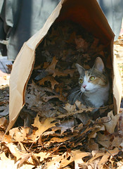Baby in the lawn bag 019a (Sue B6) Tags: autumn cats leaves kittens