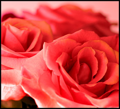 (Cliff Michaels) Tags: flowers roses photoshop d50 petals nikon blossoms capturenx tennpenny