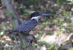 Giant Kingfisher (Megaceryle maximus) (macronyx) Tags: africa bird nature birds wildlife birding aves kingfisher uganda giantkingfisher naturesfinest megacerylemaximus featheryfriday megaceryle jttekungsfiskare
