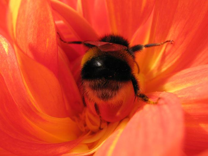 Bumblebee bum