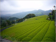 Fujieda Tea Farm (Mighty Leaf Tea) Tags: japan tea mightyleaf