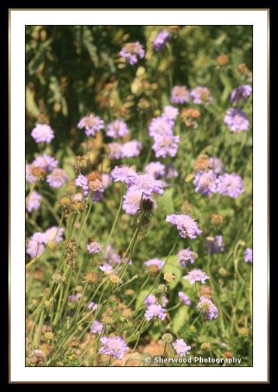 Pincushionflower