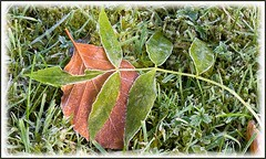 Frosted Leaves (Charles Augustus) Tags: frost ashleaf beechleaf frostedleaves