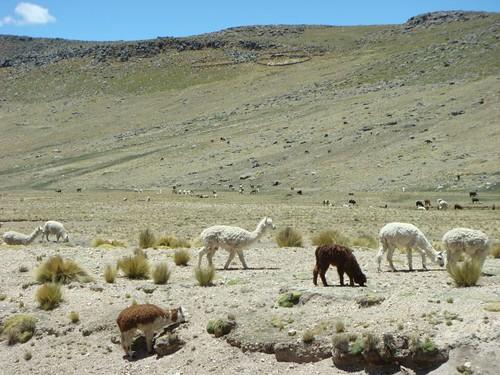 Plenty of llamas and alpacas around here...