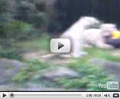 singapore zoo white tiger attack video leaked online