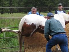 branding a horse