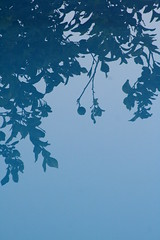 pool reflecting lemon tree / reflejo de un limonero (AN/sascha) Tags: blue reflection water pool azul canon eos 350d agua piscina an september septiembre reflejo lemontree rebelxt 2008 eos350d digitalrebelxt x1 documenting observing limonero eosdigitalrebelxt ansascha anobservingdocumenting