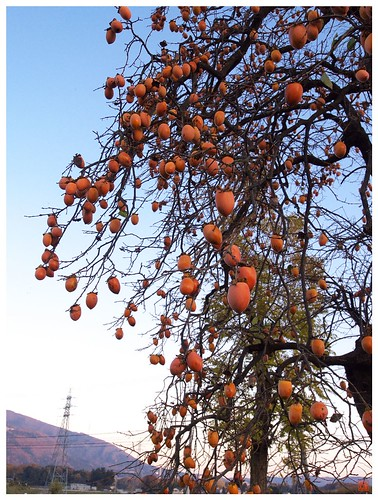 Persimmon tree 081202 #02