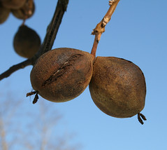 Black Walnut Fruit in Winter