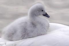 Cute Cygnet hitching a lift on Mum (saxman1597) Tags: england lake water birds animals wow swan wildlife cygnet blackneckedswan specanimal avianexcellence flickraward grahampargeter pixelwagenphotography