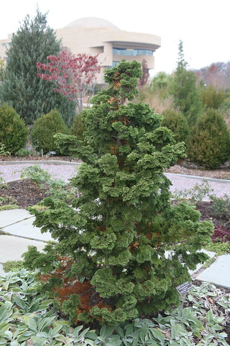 Hinoki False Cypress (Chamaecyparis obtusa) 'Compacta'