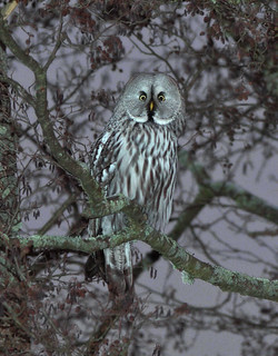 Great Gray/Grey Owl (Strix nebulosa)