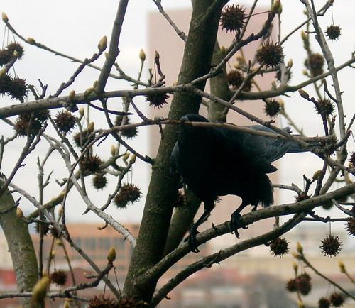 DSC_60_crow_twig