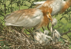 Mother's Day is celebrated to honor all mothers and express gratitude for the hardships they bear in bringing up a child. (TARIQ HAMEED SULEMANI) Tags: summer nature birds wheat harvest egret tariq khanewal concordians sulemani jahanian