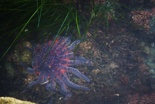 Sunflower Sea Star (Pycnopodia helianthoides) The largest sea star in the world! It appears that ...