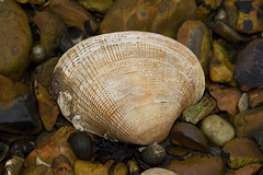 Manila clam - Venerupis philippinarum (Chris_Moody) Tags: sea animal shell shore seashore animalia mollusca bivalvia bivalve cockle manilaclam veneroida taxonomy:kingdom=animalia taxonomy:phylum=mollusca japaneselittleneck taxonomy:class=bivalvia taxonomy:order=veneroida veneridae venerupis taxonomy:genus=venerupis taxonomy:family=veneridae venerupisphilippinarum taxonomy:binomial=venerupisphilippinarum taxonomy:species=philippinarum taxonomy:common=japaneselittleneck