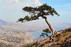Crimean pine in Sudak (yuriye) Tags: sea summer mountain black pine russia ukraine fortress crimea крым море sudak гора украина сокол судак скала yuriye