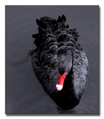 Black on Black (Eve Livesey) Tags: madrid lake spain nikon blackswan selectivecolour elretiro naturesfinest artisticexpression d80 evelivesey anawesomeshot diamondclassphotographer theperfectphotographer