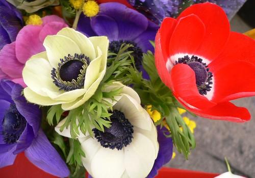 Anemoni esotici dei floricoltori