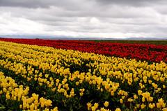 Tulip Farm Visit 5